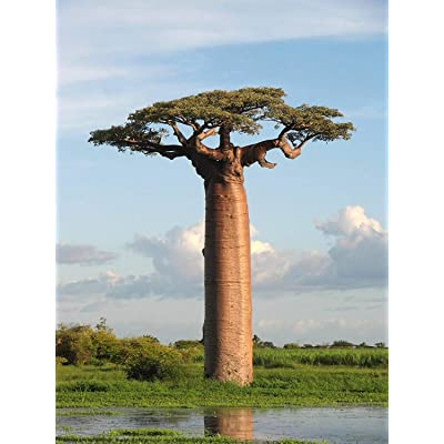 5 Adansonia Grandidieri Seeds, Grandidier's baobab, Giant Baobab Seeds : Garden & Outdoor