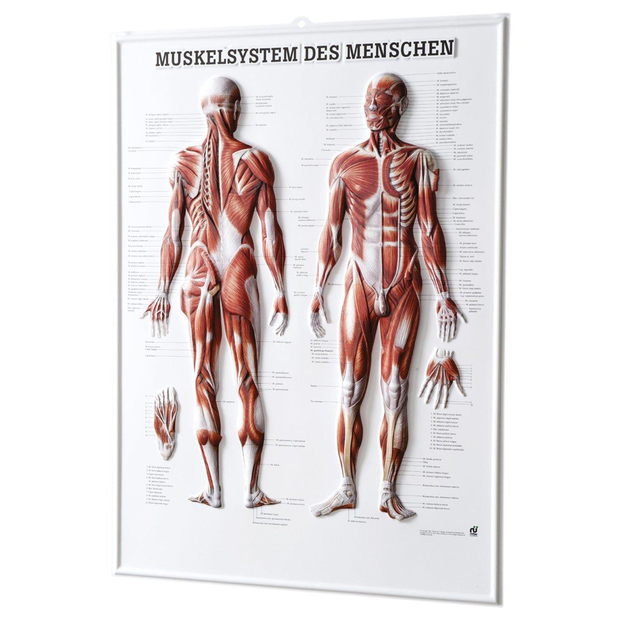 Muskelsystem des Menschen Relieftafel Anatomie 74x54 cm medizinische ...