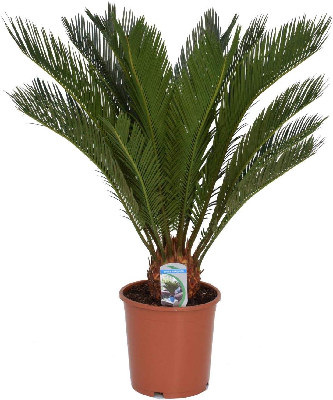 palmfarn überwintern