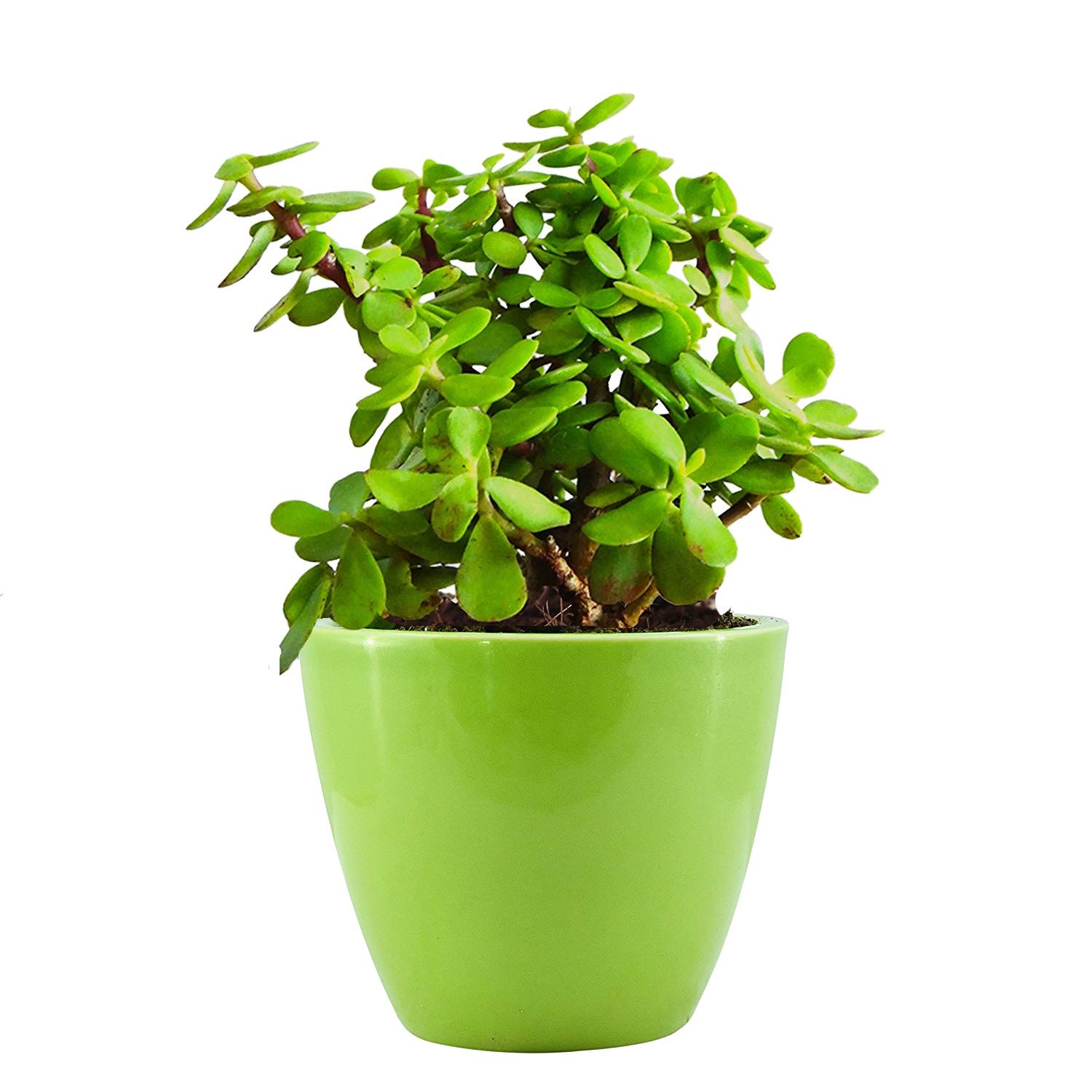 Amazon price history for Abana Homes Good Luck Jade Plant with Beautiful Pot - Air Purifier Plant
