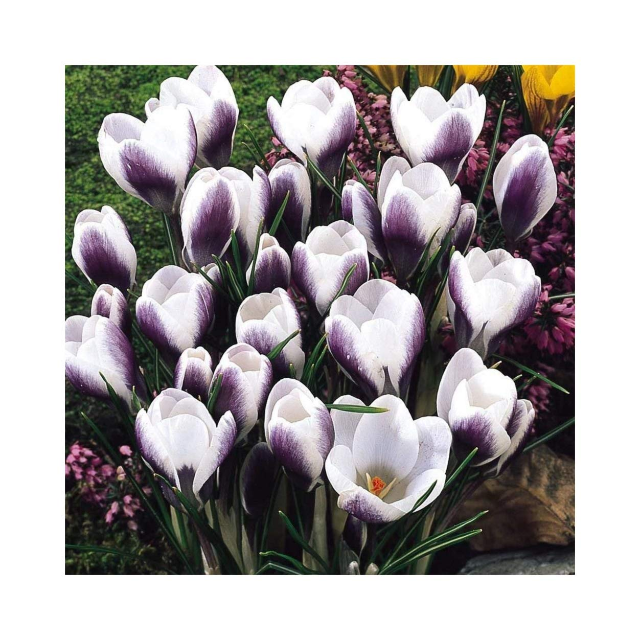 100 Crocus Chrysanthus Prins Claus Spring Flowering Bulbs by Plug Plants Express Limited