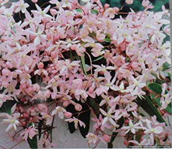 Clematis armandii apple blossom evergreen pink fragrant spring clematis armandii apple blossom evergreen pink fragrant spring flowering grown in 1 litre pot on tripod mightylinksfo