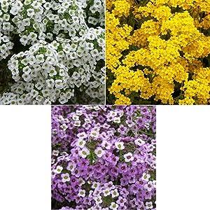 David's Garden Seeds Collection Set Flower Alyssum 2557 (Multi) 3 Varieties 1500 Non-GMO, Open Pollinated Seeds