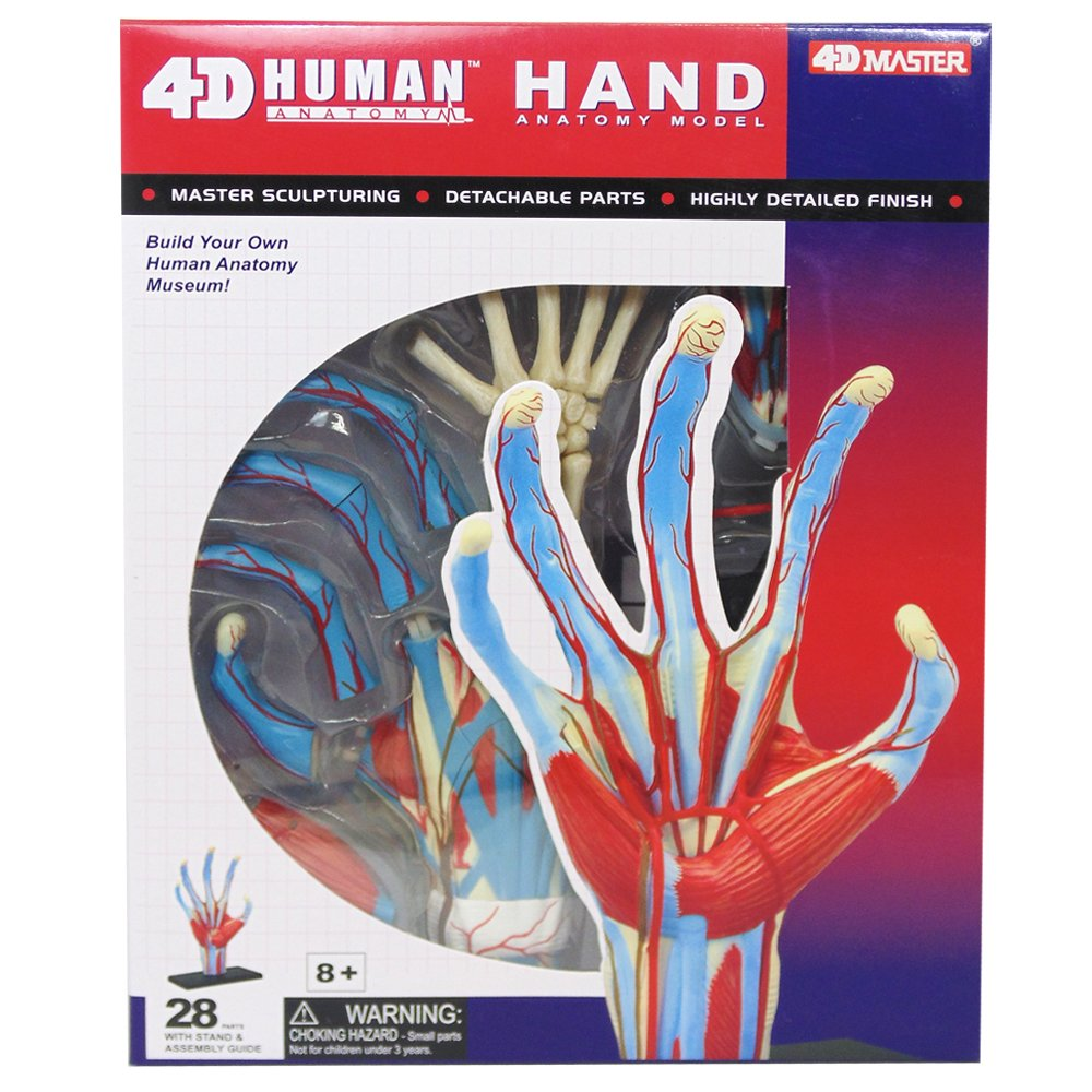Amazon.com: Tedco Human Anatomy - Hand Model: Toys & Games