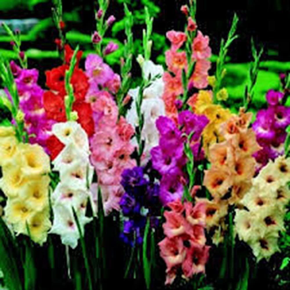 Gladiolus, Bulb (20 Pack) Pastel Mixed, Mixed Perennial Gladiolus Bulbs, Flowers