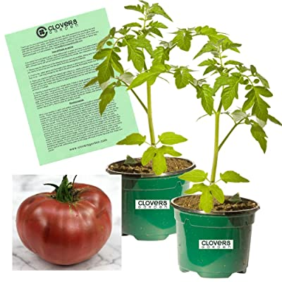 "Clovers Garden Cherokee Purple Tomato Plant - Non-GMO - Two (2) Live Plants - Not Seeds - Each 4""-7"" Tall - in 3.5 Inch Pots - Includes Clovers Garden Copyrighted Plant Care Guide : Garden & Outdoor"