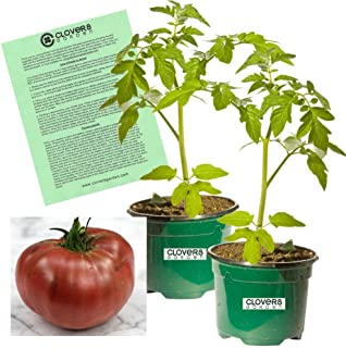 Clovers Garden Cherokee Purple Tomato Plant - Non-GMO - Two (2) Live Plants - Not Seeds - Each 4'-7' Tall - in 3.5 Inch Pots - Includes Clovers Garden Copyrighted Plant Care Guide