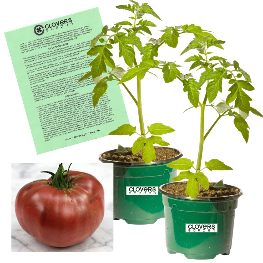 Clovers Garden Cherokee Purple Tomato Plant - Non-GMO - Two (2) Live Plants - Not Seeds - Each 4''-7'' Tall - in 3.5 Inch Pots - Includes Clovers Garden Copyrighted Plant Care Guide
