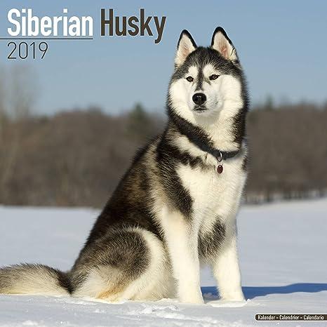Amazon Com Siberian Husky Calendar 2019 Dog Breed Calendar