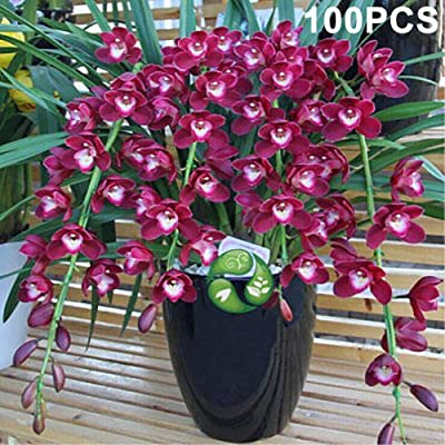 wpOP59NE 100Pcs Cymbidium Ornamental Plant Flower Seeds Garden Yard Home Bonsai Decor - Rose Red Cymbidium Seeds Plant Seeds : Garden & Outdoor