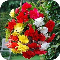 Pack 3 Yellow Pendula Begonia Bulbs WPC Prins Bulbs /& Tubers