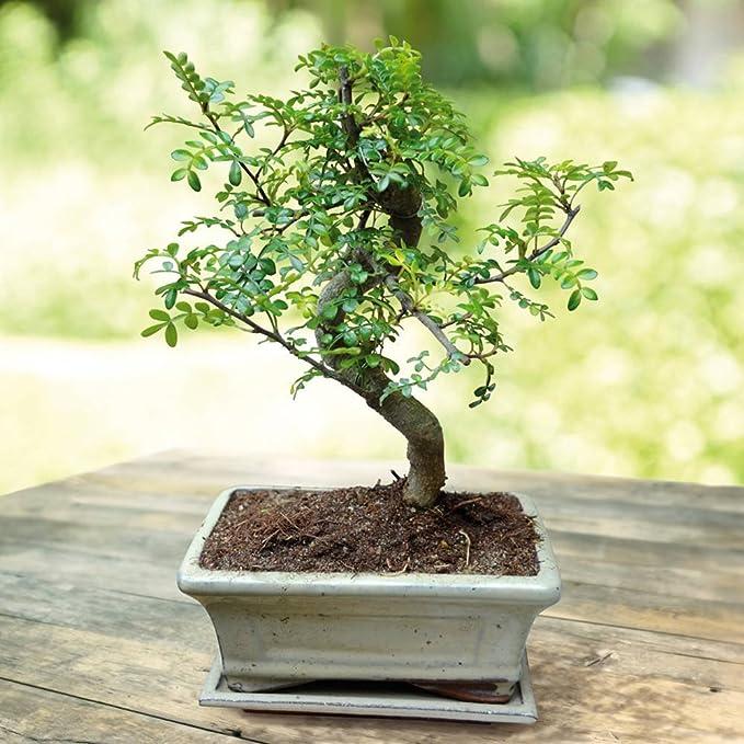 Bonsaï Zanthoxylum 7ans forme S - 1 arbre