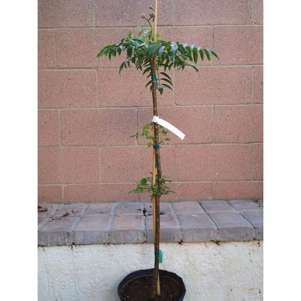 Spondias Dulcis Tropical Fruit Tree 32''-36'' Height in 3 Gallon Pot #BS1 by iniloplant (Image #2)