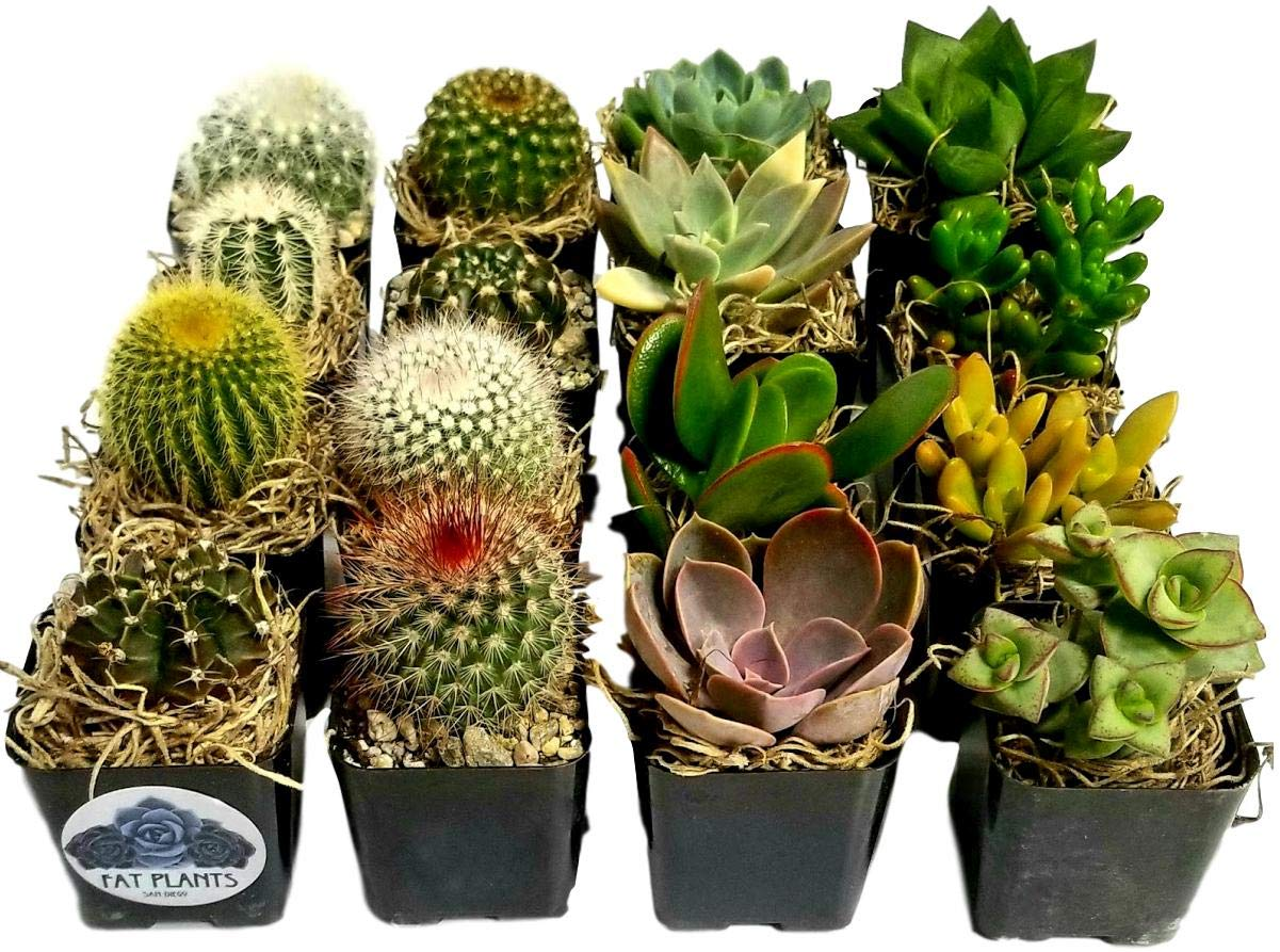 Fat Plants San Diego Miniature Flowering Cactus and Succulent Plant Collection (16) by Fat Plants San Diego