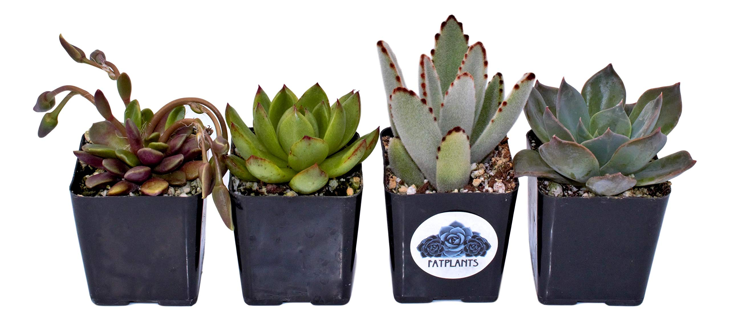 Fat Plants San Diego Premium Succulent Plant Variety Package. Live Indoor Succulents Rooted in Soil in a Plastic Growers Pot (4)