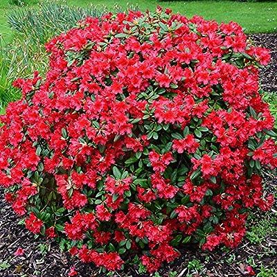 Rhododendron Baden-Baden #1 Container Size Plant : Garden & Outdoor