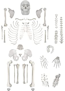 photograph about Printable Human Skeleton to Assemble named : Axis Medical Human Skeleton Design and style Anatomy
