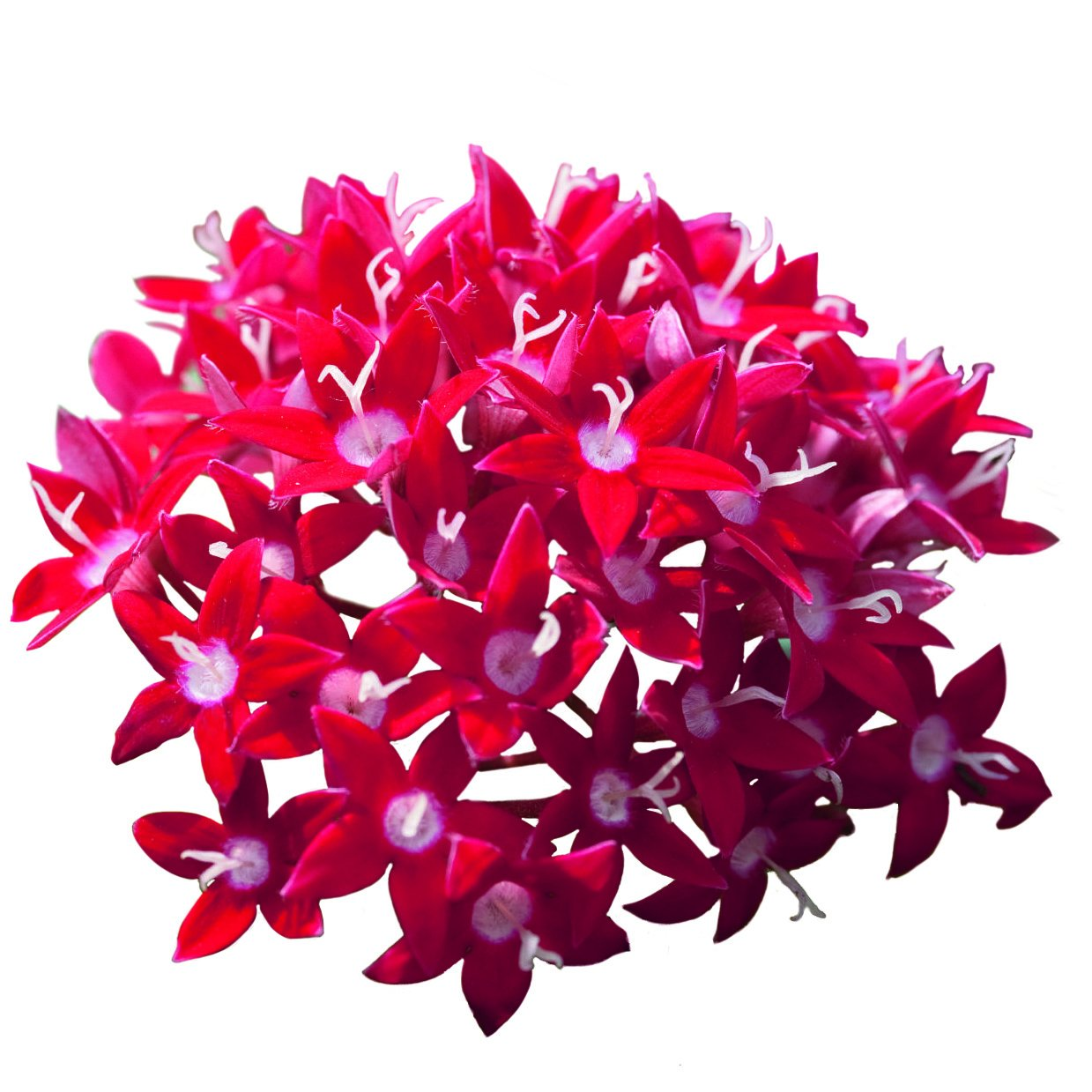Costa Farms Live Flowering Pentas, Outdoor Plant in 1.00 qt Grower Pot, Bright Red, 8 pack by Costa Farms