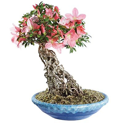 "Brussel's Live Azalea Specimen Outdoor Bonsai Tree - 25 Years Old; 16"" Tall with Decorative Container: Garden & Outdoor"