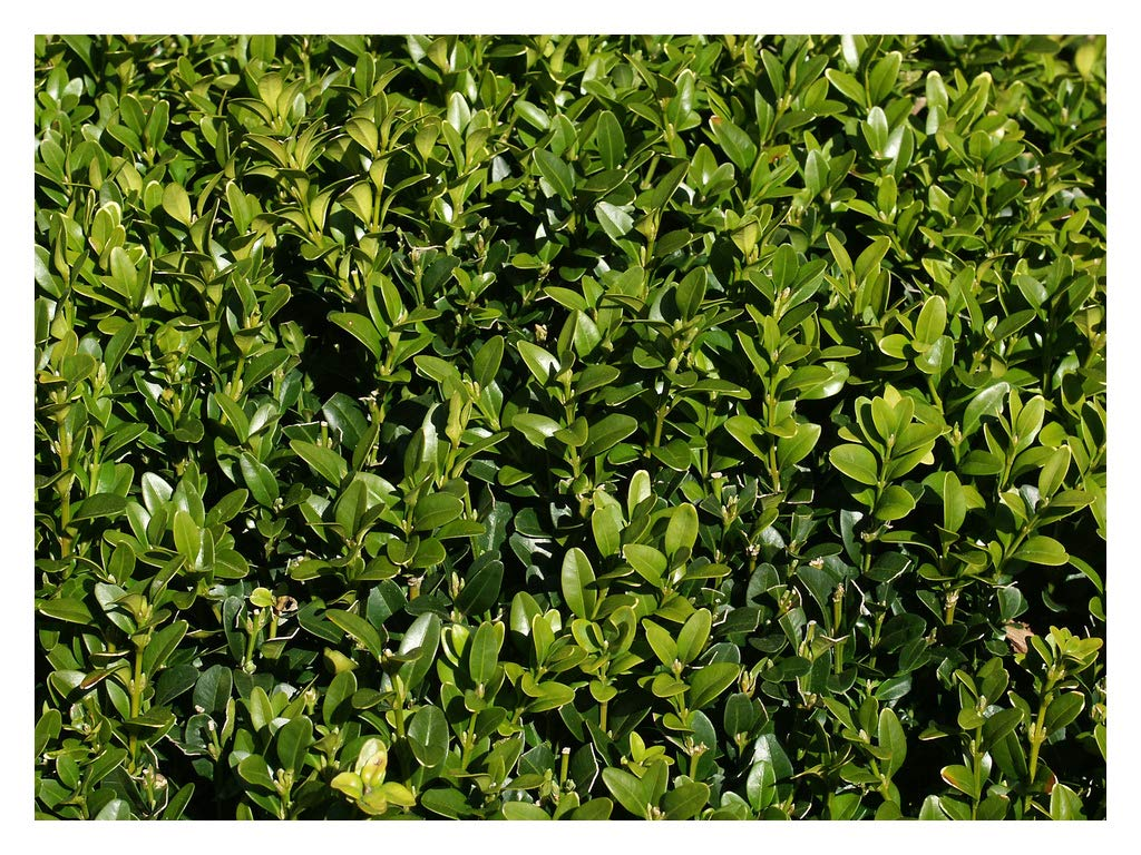 6 Plants by Growers Solution Buxus Glencoe American Boxwood Hardy Healthy Evergreen 2.5 Pot Common Boxwood