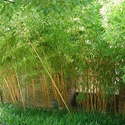 Halffle Seedhouse- Colorful Bamboo Seeds Giant Bamboo Plant Seeds Perennial Moso Bamboo Winter Hardy for Garden : Garden & Outdoor