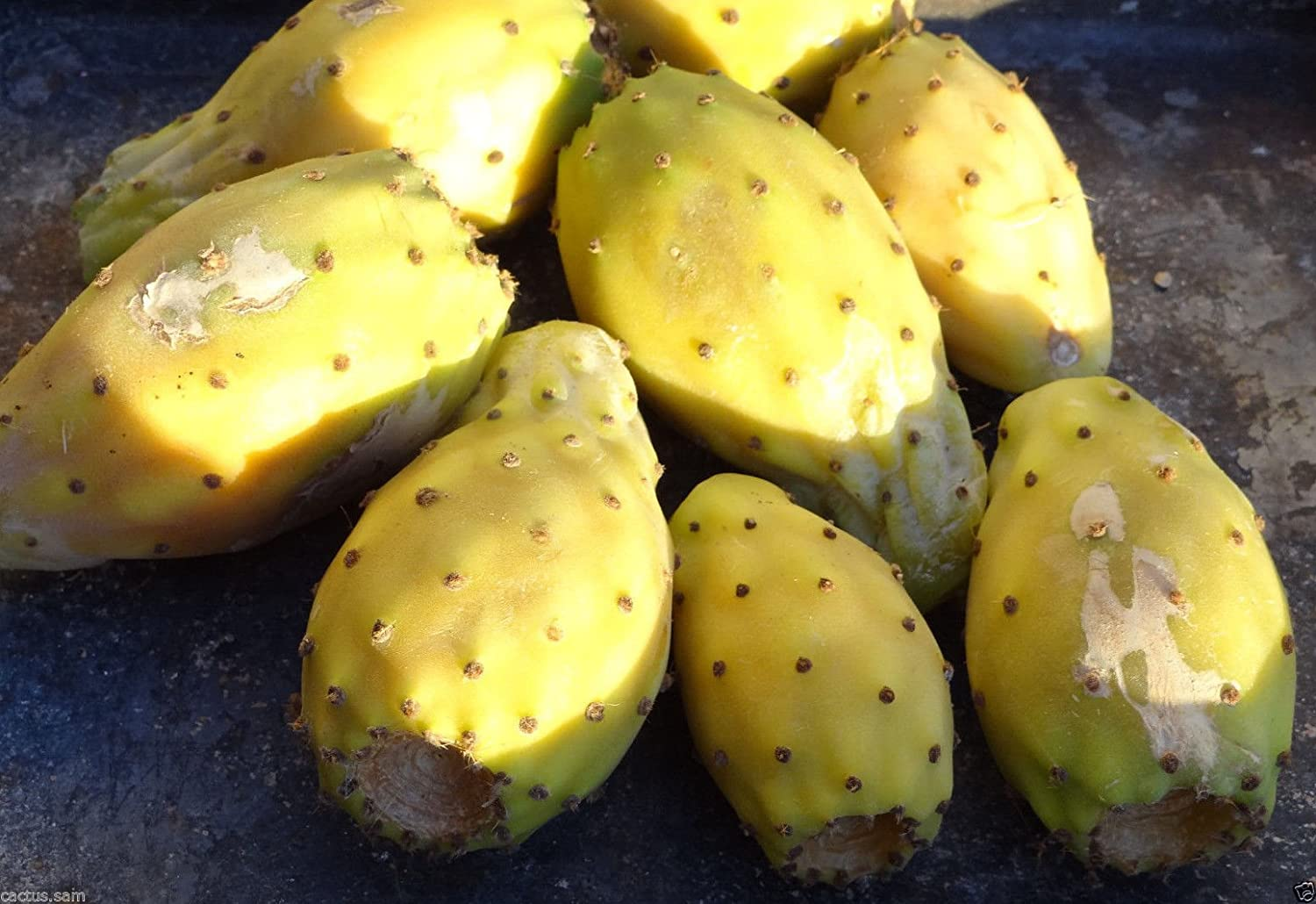 """Compact variety OPUNTIA /""""Ficus indica/"""" Prickly Pear Tree 2 x Pads"""