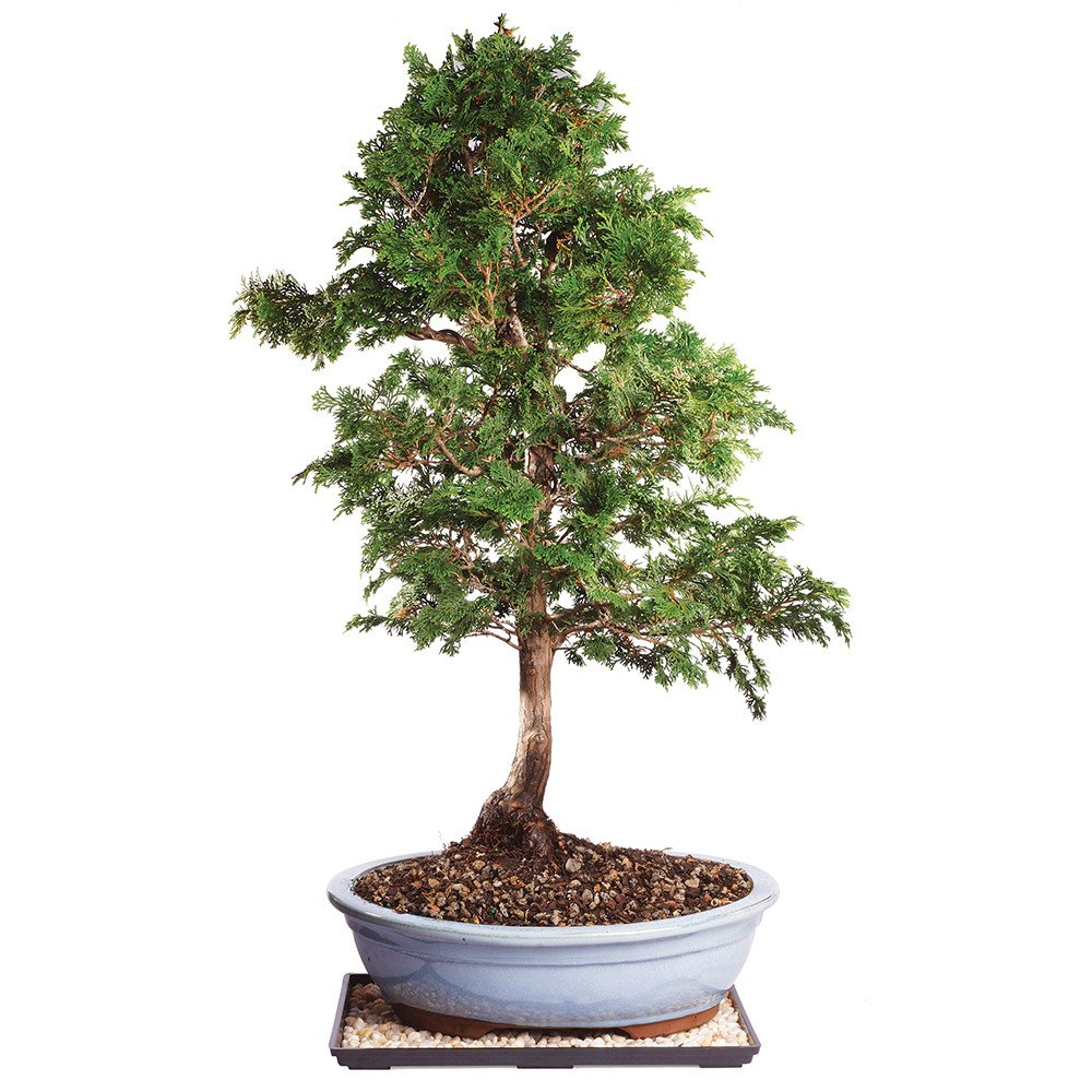 Brussel's Live Dwarf Hinoki Cypress Outdoor Bonsai Tree - 8 Years Old; 10'' to 14'' Tall with Decorative Container, Humidity Tray & Deco Rock