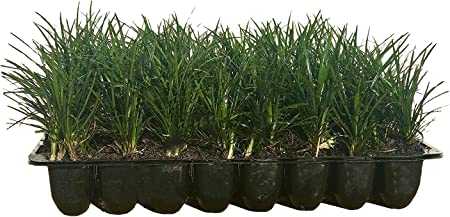 Buy Evergreen Grass Seeds Plant Low Ophiopogon Japonicus Lawn Grass