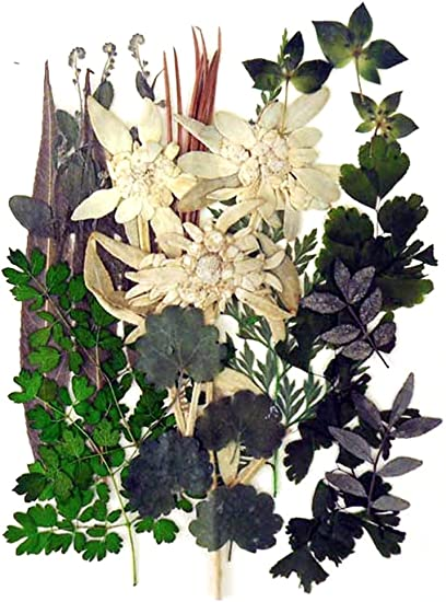 Pressed flowers mixed scrapbooking craft various green foliage for floral art edelweiss
