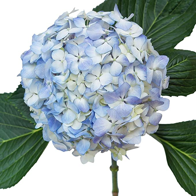 Amazon Com Globalrose 20 Fresh Cut Blue Hydrangeas Fresh