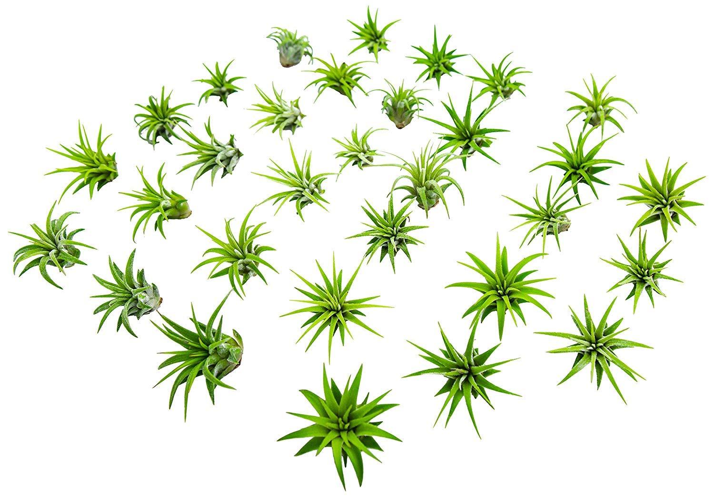 50 Miniature Fairy Garden Plants - Live Tillandsia Air Plants for Enchanted Gardens - Terrarium House Plant Accessories and Gardening Starter Kit Supplies