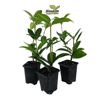 Fragrant Tea Olive (osmanthus) Live Plant 3 Inch Pot 3 Pcs : Garden & Outdoor