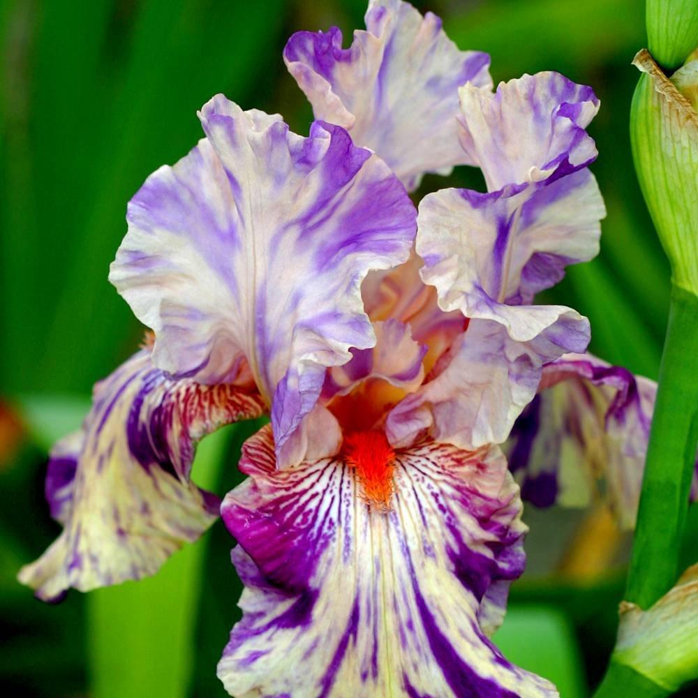 Iris germanica Peach Jam - 1 plant Gardens4you