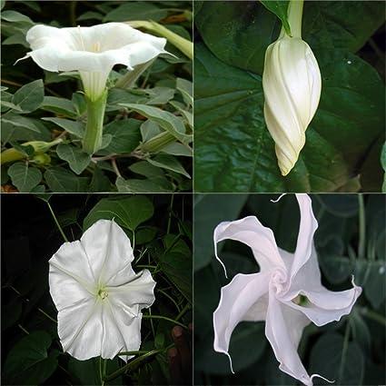 Amazon heirloom non gmo night blooming white trumpet vine 25 heirloom non gmo night blooming white trumpet vine 25 seeds mightylinksfo