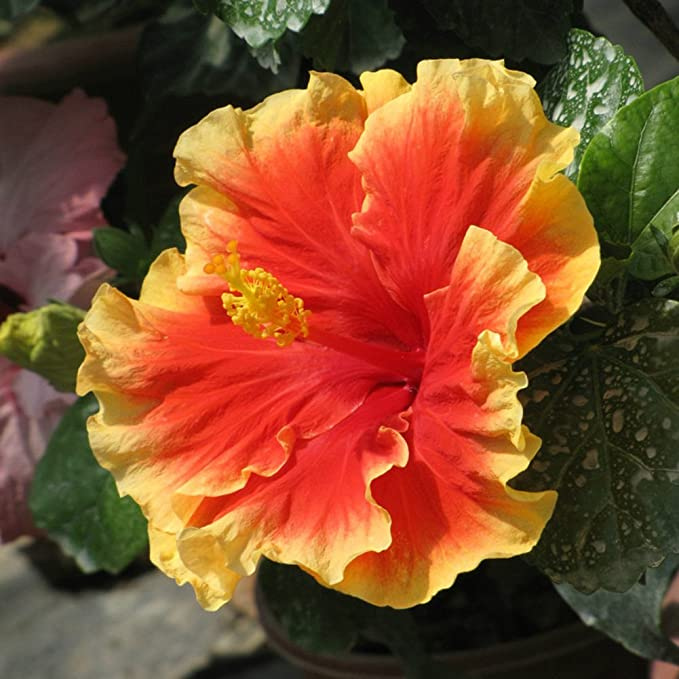 I GIGANTE-Hibiskus i stanza pianta perenne sementi giardino d/'inverno terrazza Exot
