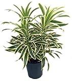 "Song of India Dragon Tree - Pleomele - Dracaena -6"" Pot-Easy to Grow House Plant"