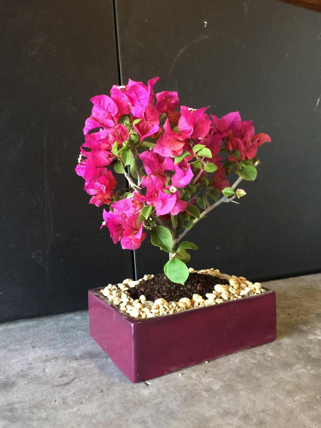 Indoorbonsaiandexotics bougainvillea bonsai trree