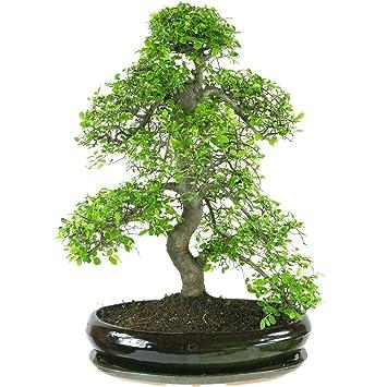Chinesische Ulme, Bonsai, 17 Jahre, 62cm: Amazon.de: Garten
