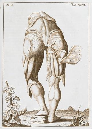 Vintage de anatomía los músculos de la parte superior de la pierna ...