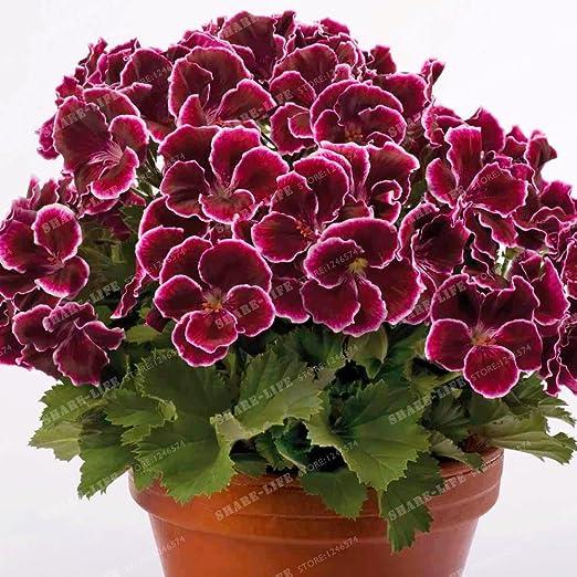 De dos colores Rojo Blanco Semillas de geranio 100 piezas raras, abigarrado geranio Maceta invierno jardín de flores, de plantas en maceta de Bonsai 2 de la flor: Amazon.es: Jardín