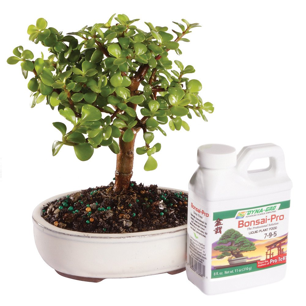 Brussel's Dwarf Jade Bonsai - Small (Indoor) with Bonsai Pro Fertilizer - 8oz.