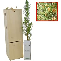 PINO PIÑONERO (pinus pinea) - arbolito de 30cms (1)