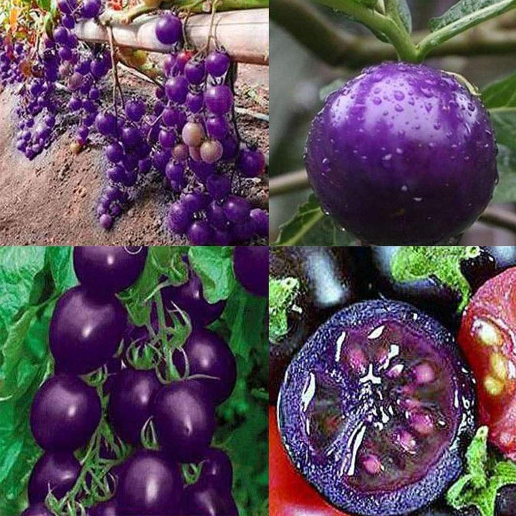 GUIGSI 20Pcs Annual Temperate Purple Tomato Seeds Garden Bonsai Seeds Sprouting Seeds
