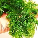 Mainam Hornwort Bunch Ceratophyllum Demersum Loose Freshcut Live Aquarium Plant Tropical Pond