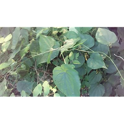 AchmadAnam - Live - 12 Oz Fresh dug Wild yam Root, Organic Woods Grown Roots : Garden & Outdoor