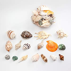 Tab Silas Sea Shells Mixed Beach Seashells Bulk Decorations Conch Crafts Ornaments Wall Decor for Bathroom Assorted Fishtank Supplies Beach Wedding Decor(Large)