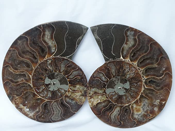 Ammonite Cabochon for Pendant 30carat 28x20x6mm Ammonite Fossil Polished 100/% Natural Ammonite Fossil