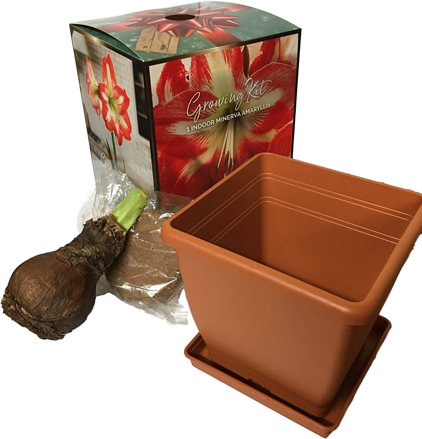 Includes Bulb Minerva Potted Amaryllis Gift Ready Soil /& Container