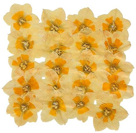 Real presionado Flores 15 Amarillo Margaritas ideal para elaboración de Tarjetas /& Floral Craft
