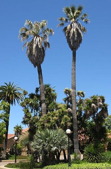 fan palm trees. california fan palm 10 seeds - washingtonia trees